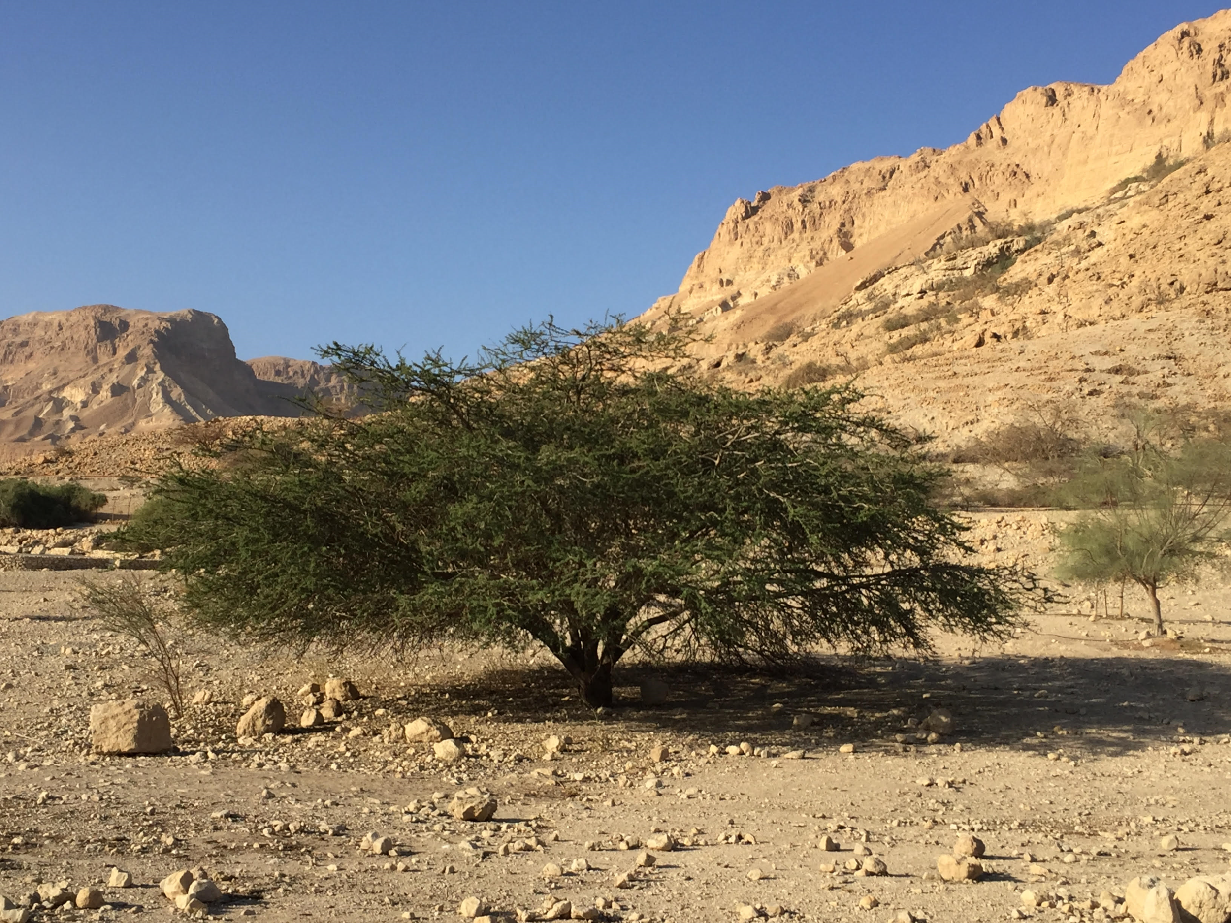 Acacia Tree in the Negev - photo by P. Schwartz
