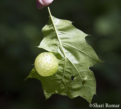 Large gall on oak leaf