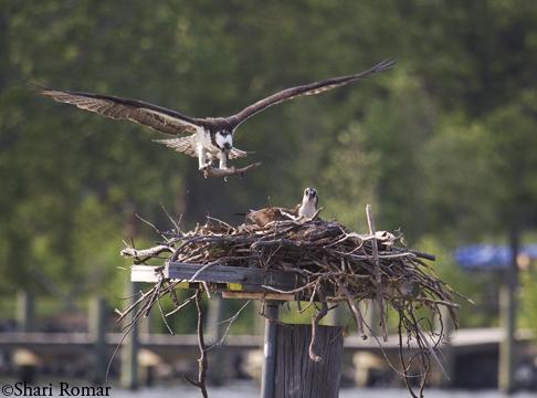 Osprey landing on platform