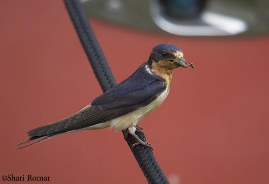 Barn swallow with mud for nest