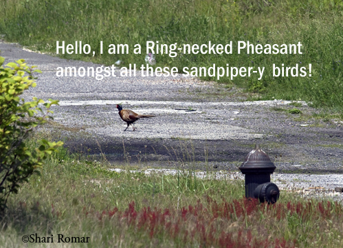Ring-necked Pheasant at Arverne Piping Plover Nesting Area