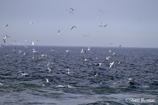 Terns feeding off Breezy Point