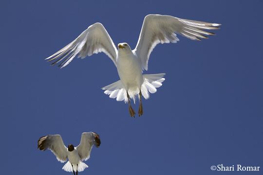 Laughing Gull (left) and Herring Gull