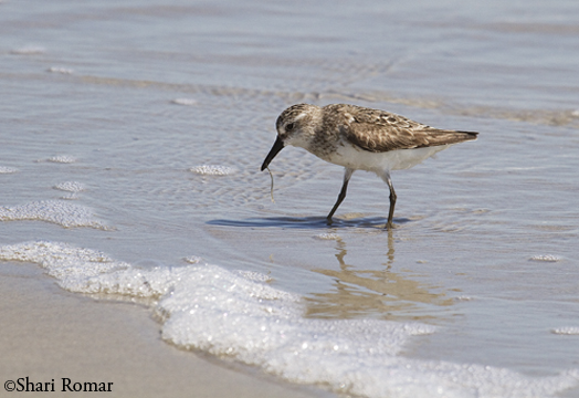 Semipalmated Sandpiper with aquatic worm