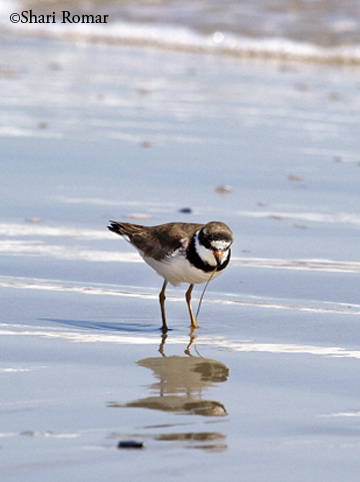 Semipalmated Plover with aquatic worm