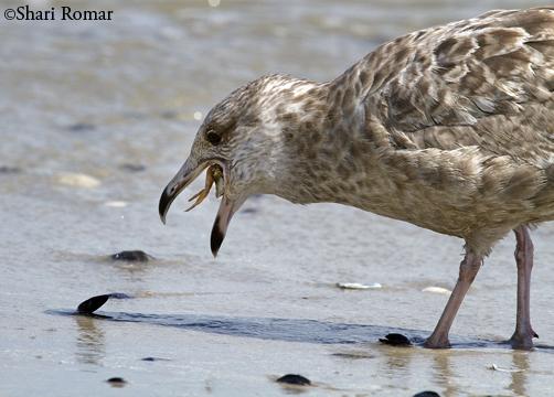 Juvenile Herring Gull and crab