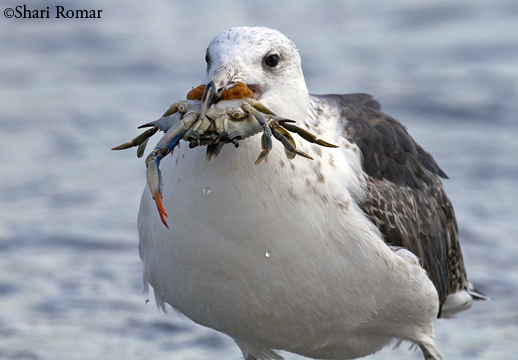 Great Black-backed Gull with Blue Crab