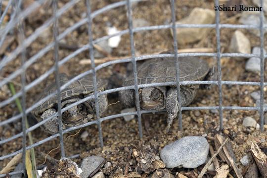 Diamondback Terrapin hatchlings