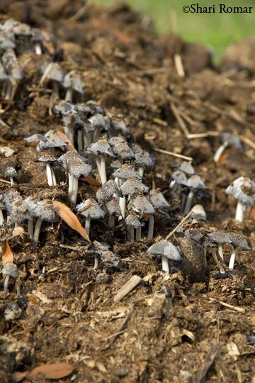Mushrooms on manure pile