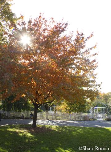 Red Maple at Queens Botanical Garden
