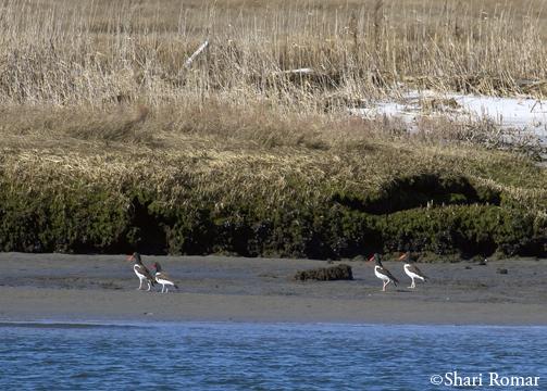 American Oystercatchers