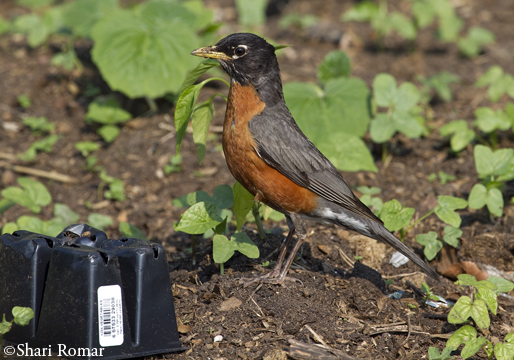 American Robin, supervising my work