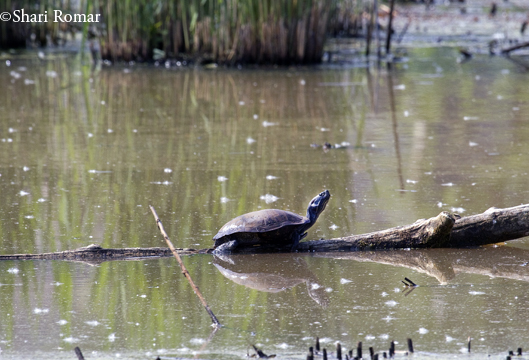 Turtle in Willow Lake, Flushing Meadows-Corona Park