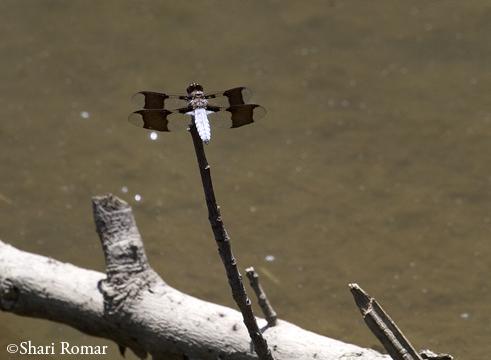 Dragonfly in salt marsh