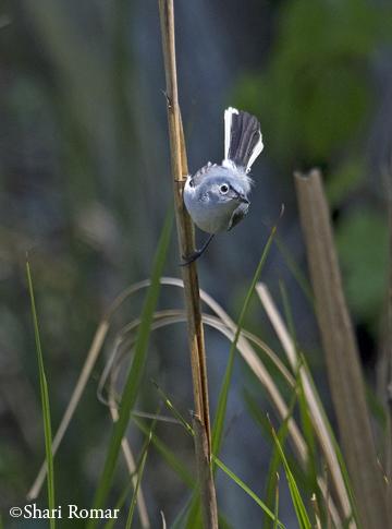 Blue-gray Gnatcatcher in the salt marsh
