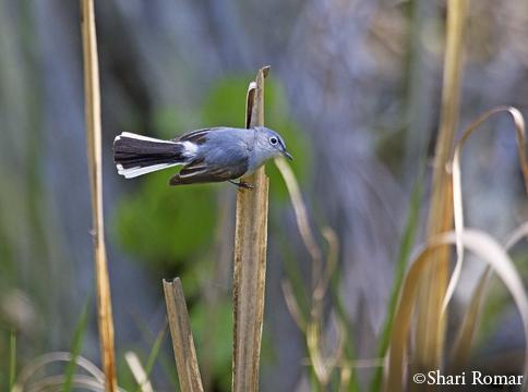 Blue-gray Gnatcatcher in salt marsh