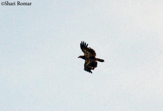 Immature Bald Eagle at the Chesapeake Bay