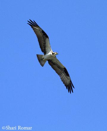 Osprey at the Chesapeake Bay