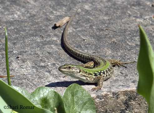 Italian Wall Lizard, Queens Botanical Garden