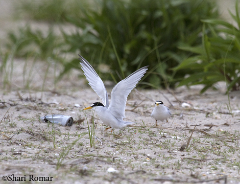 Least Terns, Arverne Piping Plover Nesting Area