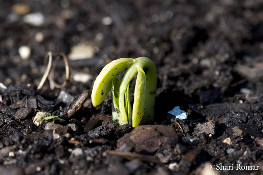 Green bean seedling