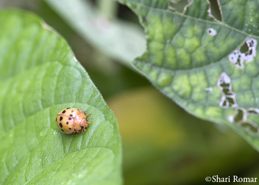 Mexican Bean Beetle, adult