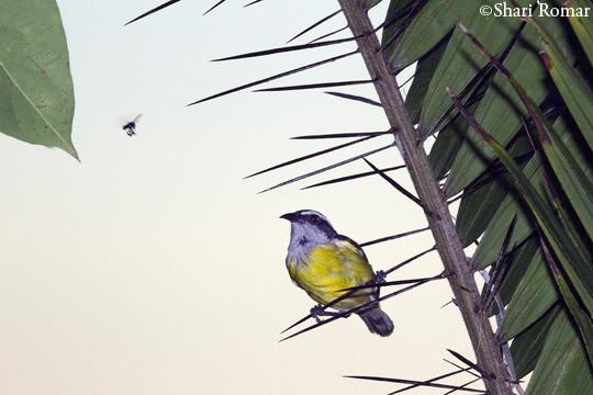 Dia Siete -- Marathon Birding