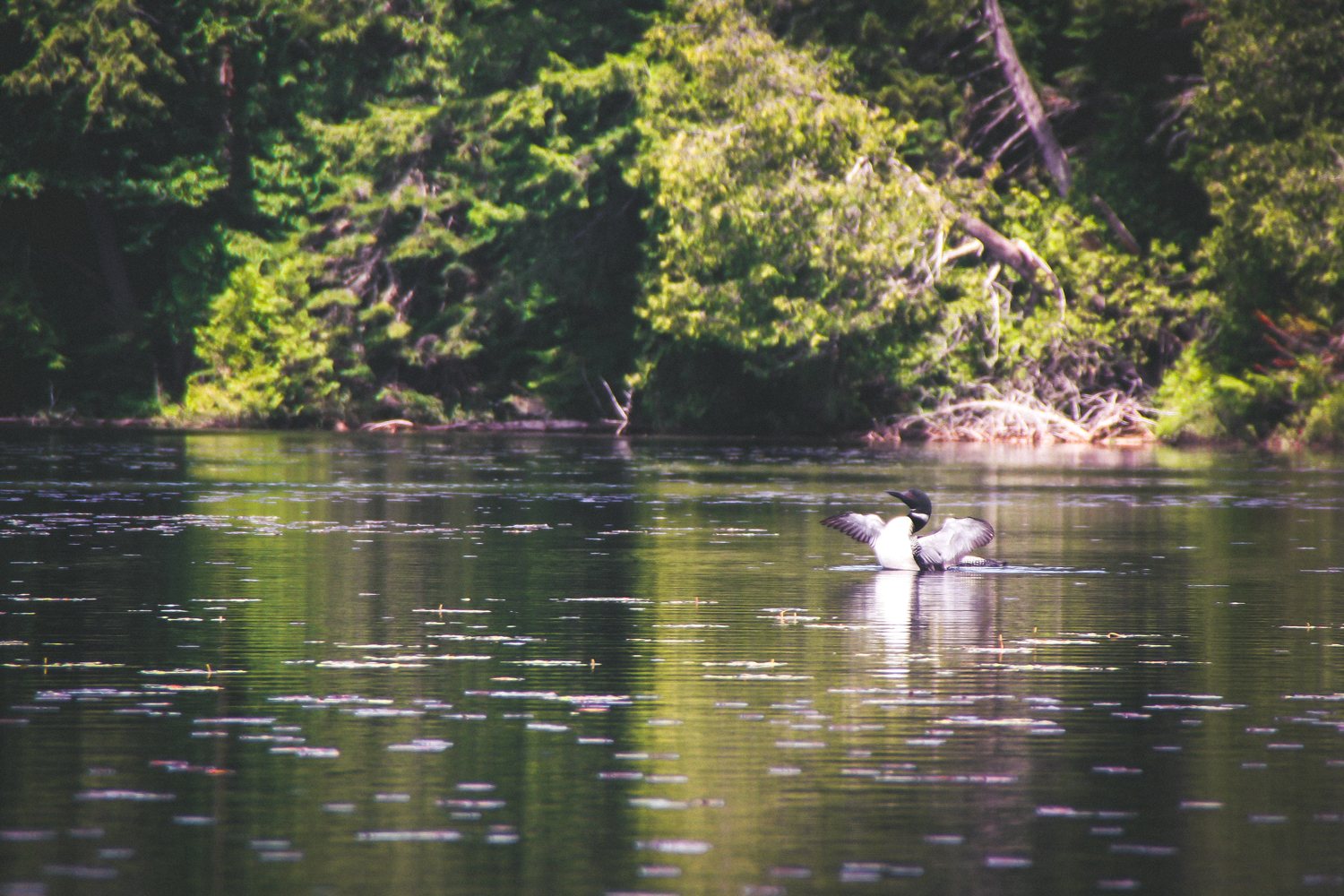 Common Loon on Upper Duck Hole, Newcomb