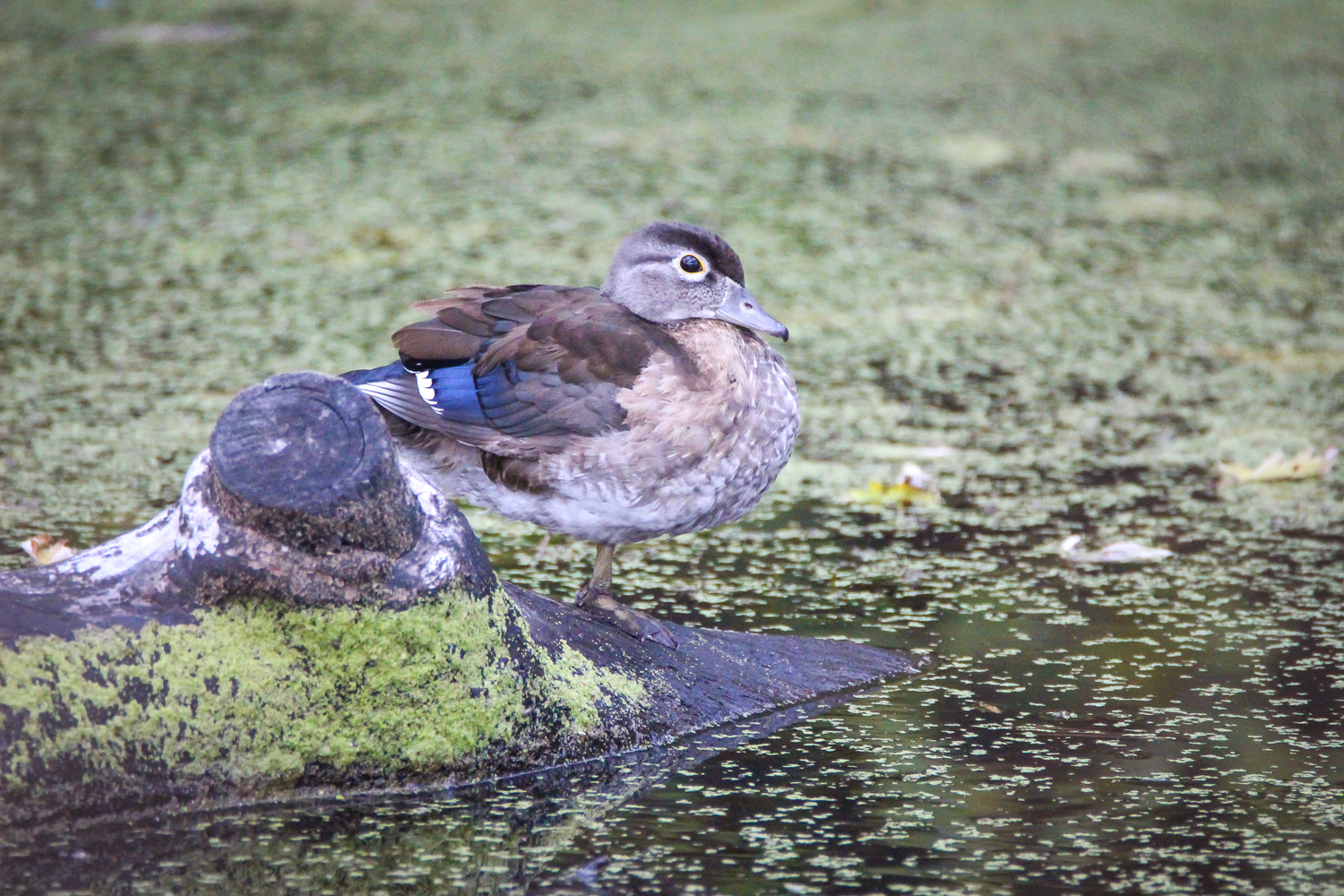 Wood Duck, Betar Byway, South Glens Falls