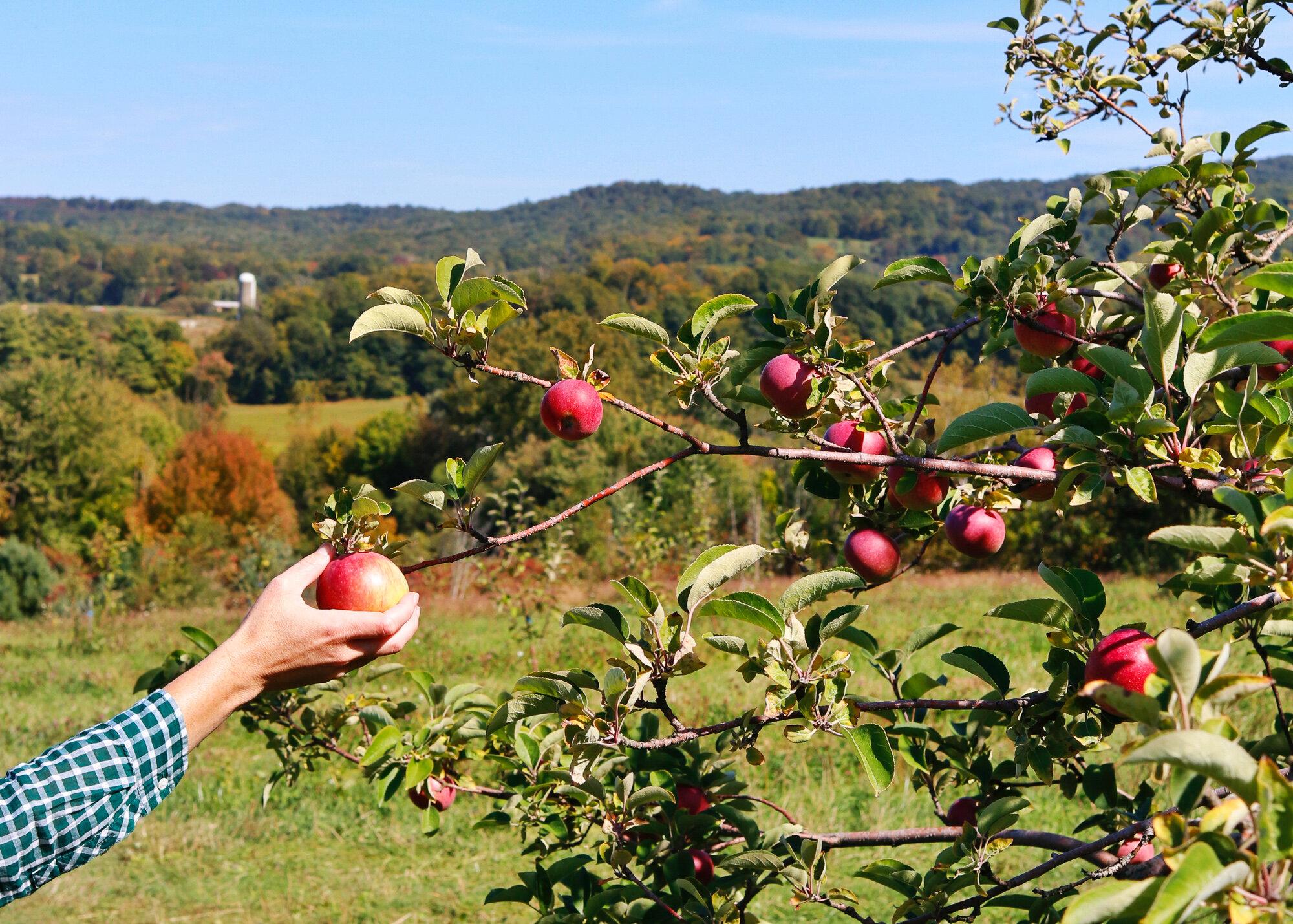 Apple Picking in Washington County, NY, Saratoga County, NY and Vermont