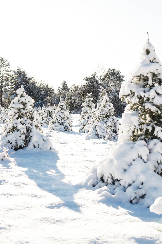 Christmas Tree Farms To Visit This Season Glens Falls Living