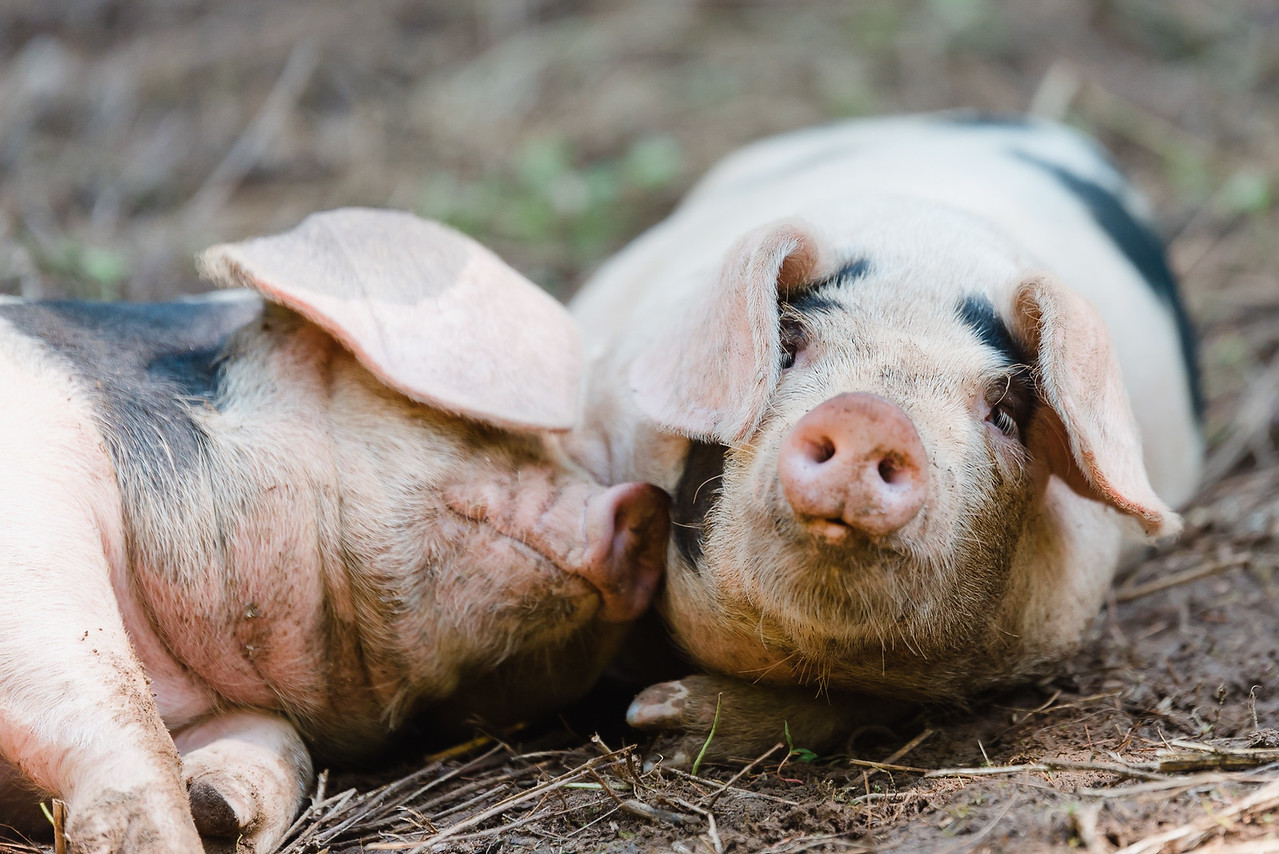 Farmstead Catering -- Sleepy pigs and delicious pork