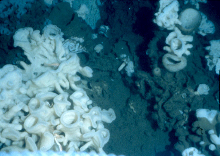 when a sponge, or portion of a sponge, dies the fused skeleton becomes covered with silt and is habitat for many hard substrate species including glass sponges. It has been noted that as sponges are dying their soft tissue moves upwards, away from silt. This may demonstrate that the sponge knows the silt is damaging.