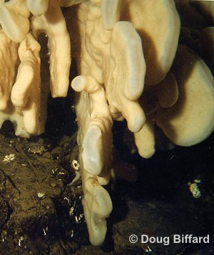 Mittens of a Cloud Sponge . The translucent whitish mitten edges lack a fused skeleton.