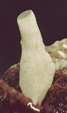 Leucandra new species of levis