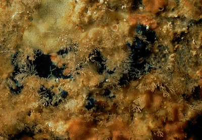 Hymenamphiastra cyanocrypta     (Blue encrusting sponge)    Description:  Possible disjunct distribution. Two records in Barkley Sound, one record in Queen Charlotte Islands, otherwise from California + 1 possible record southern Oregon.