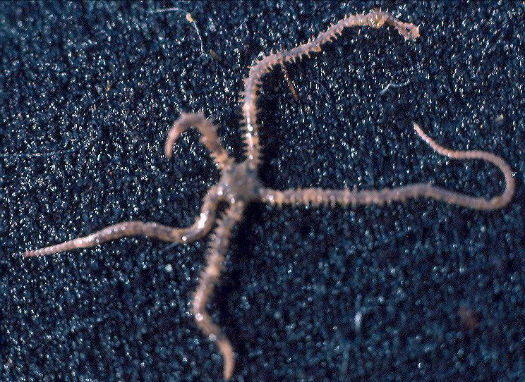 Amphiopholis pugetana