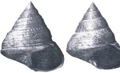 Calliostoma bernardi   (Beaded white top shell)    Description:  Possible disjunct distribution &/or rare 1 record in Strait of Georgia, 1 record in California