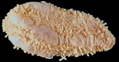Pentamera trachyplaca   (Fat pentamera)    Description:  Four localities in BC plus in California.