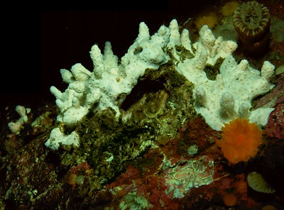 Stylaster sp.   (White stubby hydrocoral)    Description:  This species has been recorded only once at Lane Islet in BC.