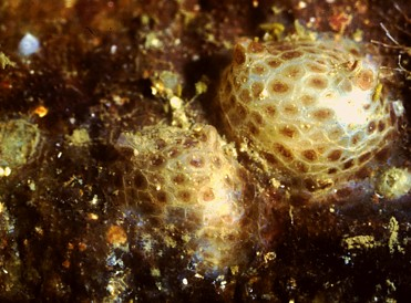 Pyura cf tesselata   (Brown spot plated sea squirt)    Description:  Recorded once in Barkley Sound.