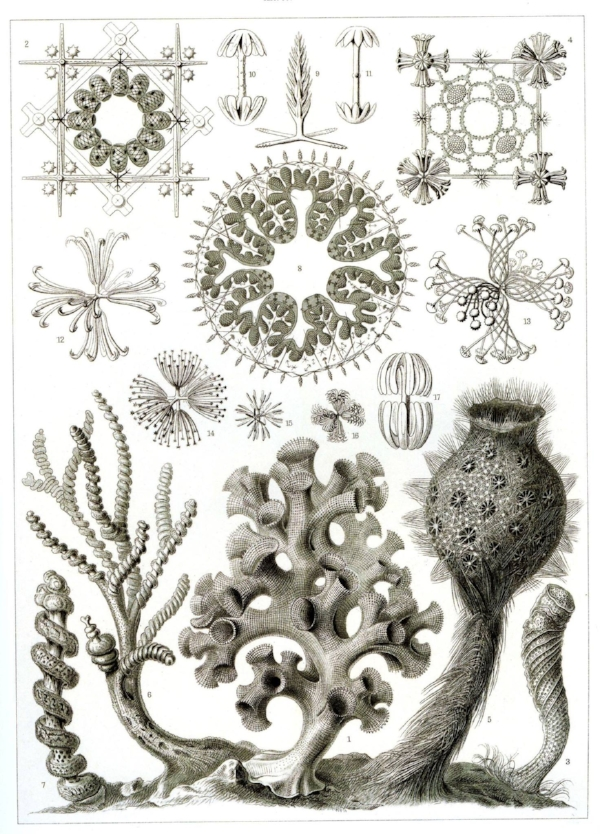 Glass sponge artwork by Ernst Haeckel, first published in 1904 in his book Art Forms in Nature .