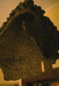 Mycale bellabellensis  3