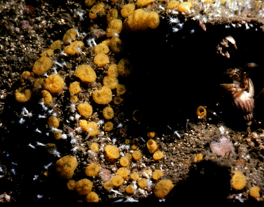 Cliona californiana  1