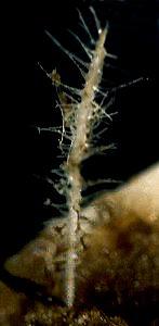 Asbestopluma occidentalis