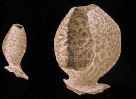Family Leucopsacasidae [Placopegmatidae]   Leucopsacus scoliodocus
