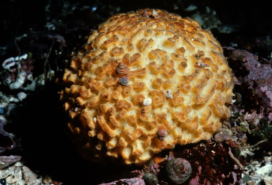 Tethya californiana.jpg