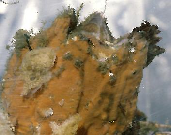 Plocamionida lyoni 2.jpg