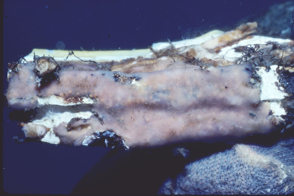 Clathria (Microciona) spongigartina.jpg