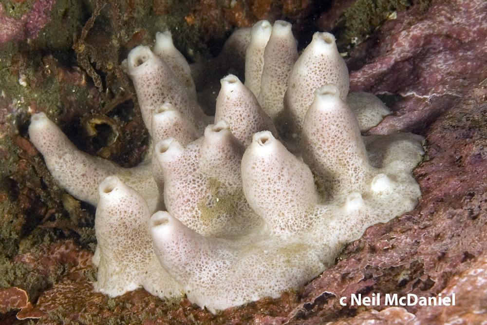 Neopetrosia vanilla.jpg